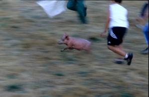 Pig Chasing In Salamanca
