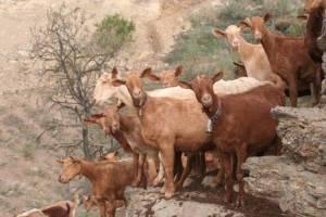 Malaguena Goats